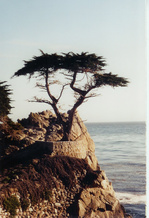 Lone_cyprus